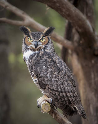 Photograph - Great Horned Owl by Tyson and Kathy Smith
