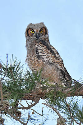 Photograph - Great Horned Owl Youngster by Alan Lenk