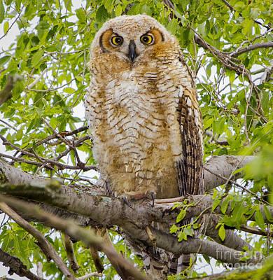 Great Horned Owlet Art Print by Ricky L Jones