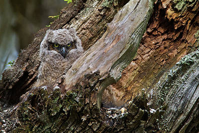 Photograph - Great Horned Owlet Sentry by Craig Strand