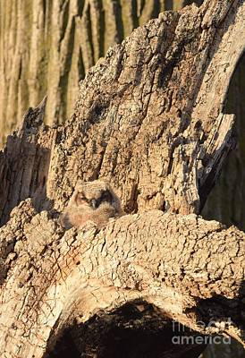 Photograph - Great Horned Owlet Two by Charles Owens