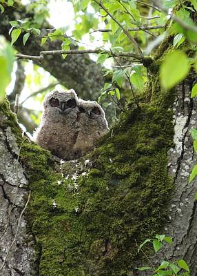 Photograph - Great Horned Owlets by I'ina Van Lawick