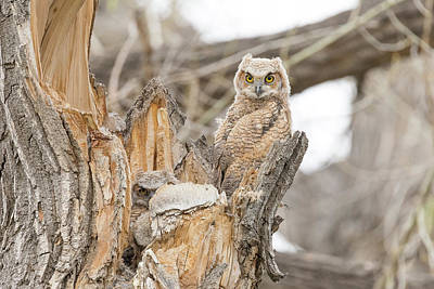 Photograph - Great Horned Owlets In The Evening by Tony Hake