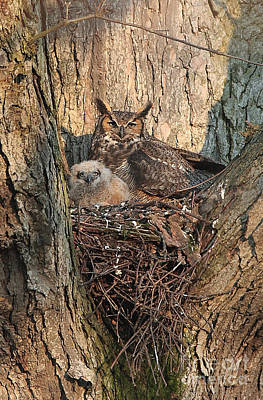 Photograph - Great-horned Owls by Charles Owens