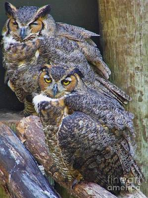Birds Photograph - Great Horned Owls by D Hackett