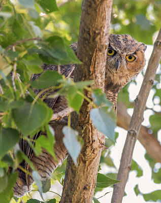 Photograph - Great Horned Peekaboo by Loree Johnson