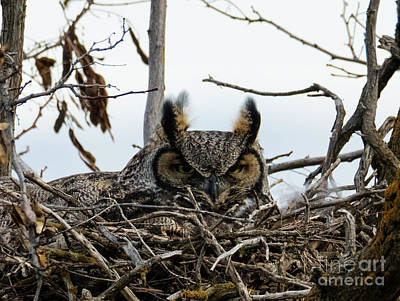 Photograph - Great Horned Stare by Mike Dawson
