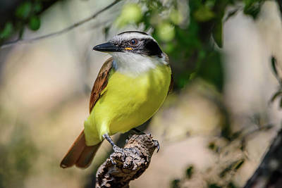 Photograph - Great Kiskadee At Bentsen-rio Grande State Park Of Texas by Debra Martz