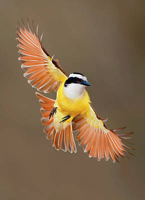 Photograph - Great Kiskadee In Texas by Alan Murphy