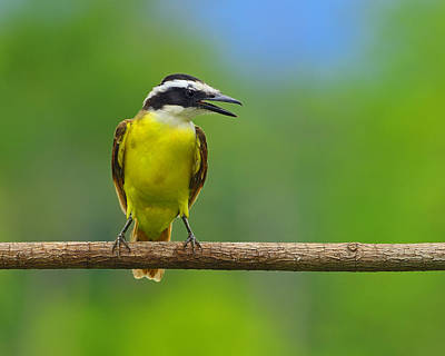 Great Kiskadee Art Print