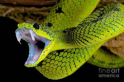 Dr. Teeth Photograph - Great Lakes Bush Viper by Reptiles4all