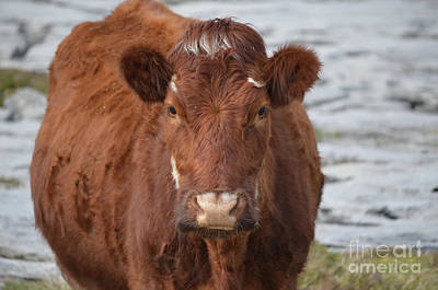 Photograph - Great Looking Brown Cow In Ireland by DejaVu Designs