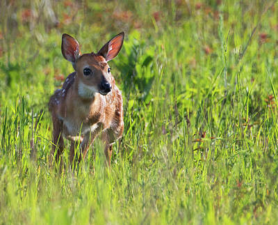 Photograph - Great Meadows Fawn by Art Cole
