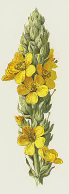 Great Drawing - Great Mullein  by Frederick Edward Hulme