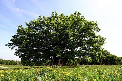 Photograph - Great Oak Tree On Hampstead Heath, London by Aidan Moran