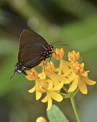 Photograph - Great Purple Hairstreak by Carol  Bradley