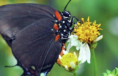 Photograph - Great Purple Hairstreak by Larah McElroy