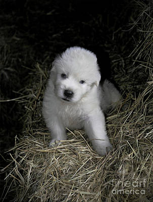 Photograph - Great Pyrenees Puppy by Savannah Gibbs