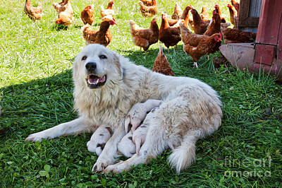 Bitch Wall Art - Photograph - Great Pyrenees With Litter by Inga Spence
