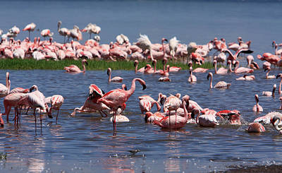 Photograph - Great Rift Lake Flamingos  by Aidan Moran