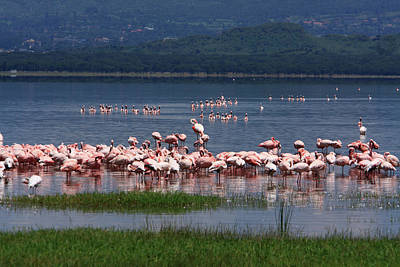 Photograph - Great Rift Valley Flamingos  by Aidan Moran