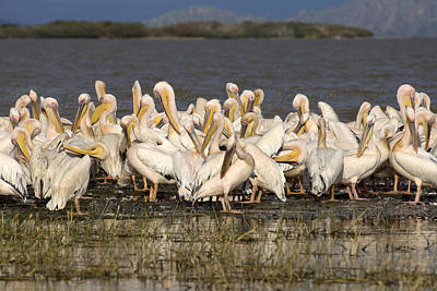 Great Rift Valley Pelicans Art Print
