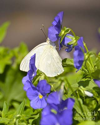 Photograph - Great Southern White by Carol  Bradley