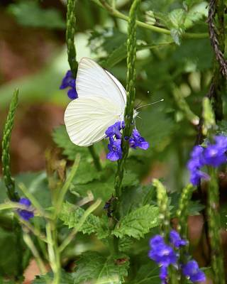 Photograph - Great Southern White On Blue Porterweed by Carol Bradley