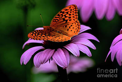Great Spangled Fritillary Art Print by Brenda Bostic