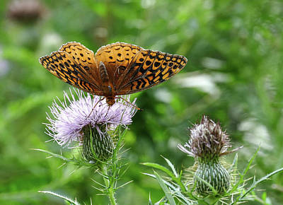 Photograph - Great Spangled Fritillary Butterfly by Bill Jordan