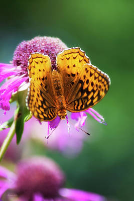 Great Spangled Fritillary Butterfly Art Print by Christina Rollo