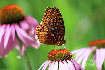 Photograph - Great Spangled Fritillary In July by Karen Adams
