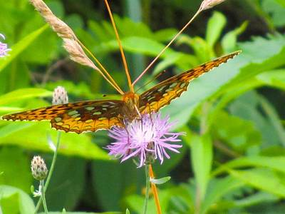Photograph - Great Spangled Fritillary by Kendall Kessler