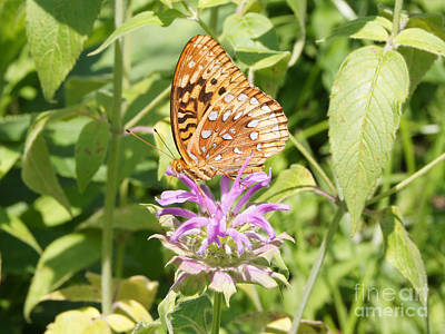 Photograph - Great Spangled Fritillary On Bee Balm Flower by Robert E Alter Reflections of Infinity