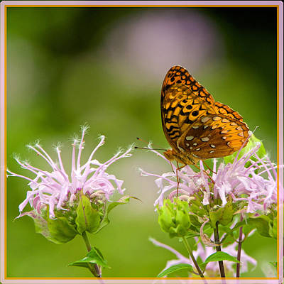 Photograph - Great Spangled Fritillary On Bee Balm by Linda Shannon Morgan