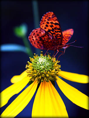 Photograph - Great Spangled Fritillary On Yellow Coneflower II by Susie Weaver