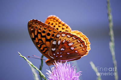 Photograph - Great Spangled Fritillary by Randy Bodkins