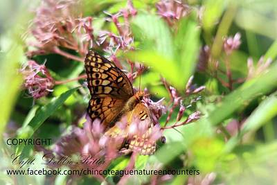 Photograph - great spangled Fritillary Speyeria cybele by Captain Debbie Ritter