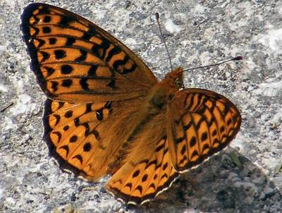 Great Spangled Fritterlary Print by Dave Martsolf