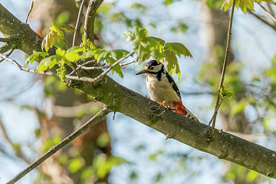 Photograph - Great Spotted Woodpecker by Darren Wilkes
