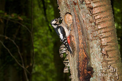 Great Spotted Woodpecker Dendrocopos Art Print