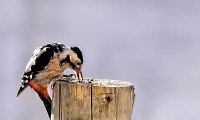 Photograph - Great Spotted Woodpecker by Isam Awad