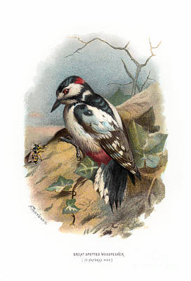 Digital Art - Great Spotted Woodpecker Restored by Pablo Avanzini