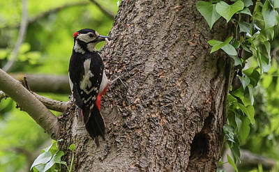 Photograph - Great Spotted Woodpecker by Wendy Cooper