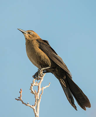 Photograph - Great Tailed Grackle by Loree Johnson