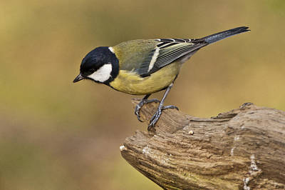 Photograph - Great Tit by Andy Beattie Photography