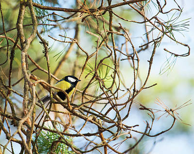 Photograph - Great Tit Male Waiting For The Spring To Come by Ismo Raisanen