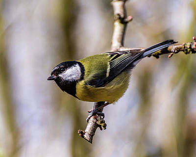 Photograph - Great Tit by Nick Bywater