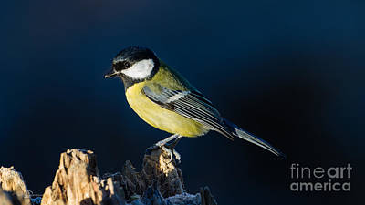 Parus Photograph - Great Tit On The Stump by Torbjorn Swenelius