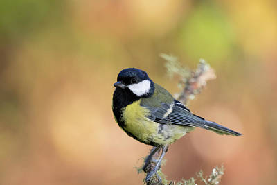 Photograph - Great Tit - Parus Major by Karen Van Der Zijden